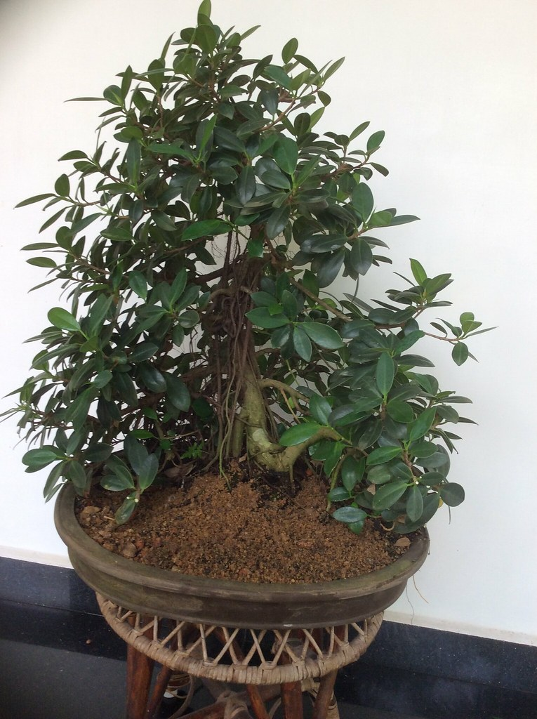 Ficus Long Island informal upright style, twelve years old. Updated on 25.09.2018 -