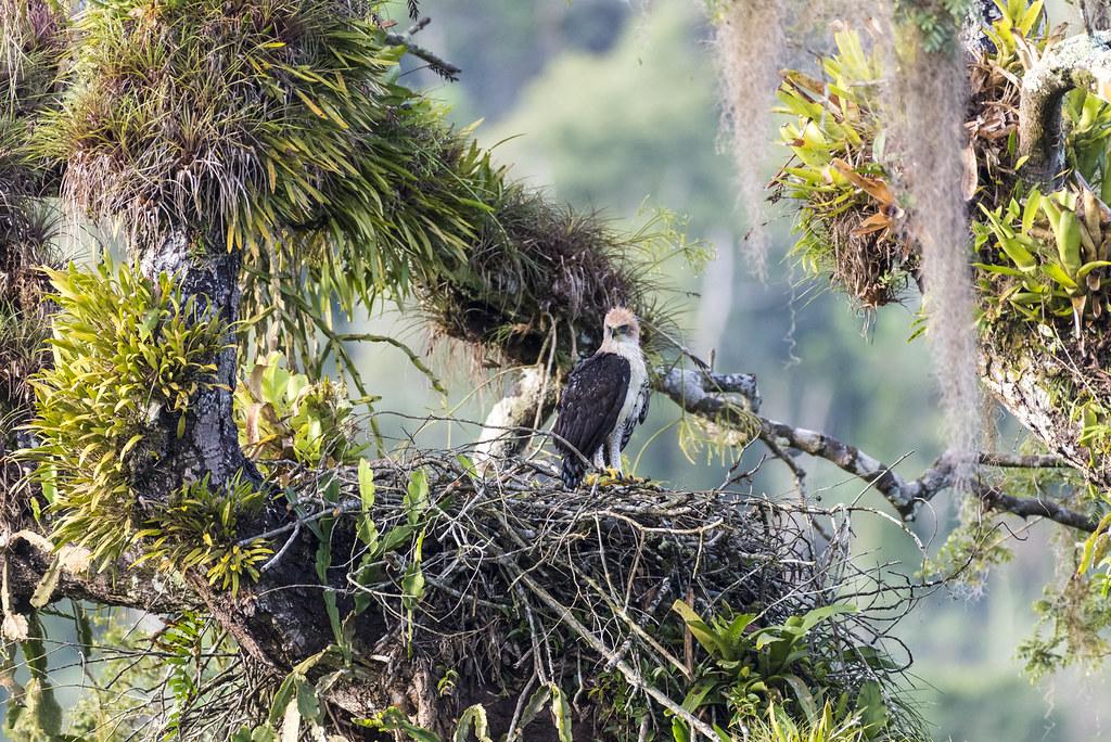 🇧🇷 Gavião-de-penacho (filhote no ninho)