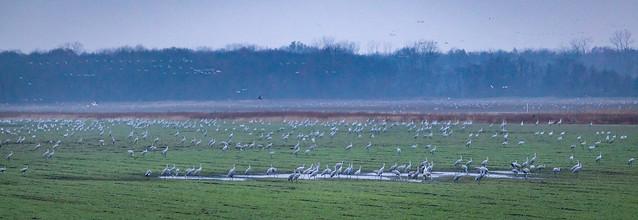 Sandhill crane migration- Jasper-Pulaski FWA