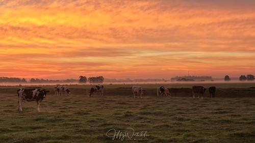 Cows in sunrise