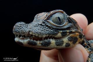 Osteolaemus tetrapis_MG_3026 copy | by Kurt (OrionHerpAdventure.com)