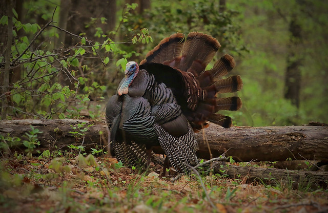 Photo of wild turkey in the woods