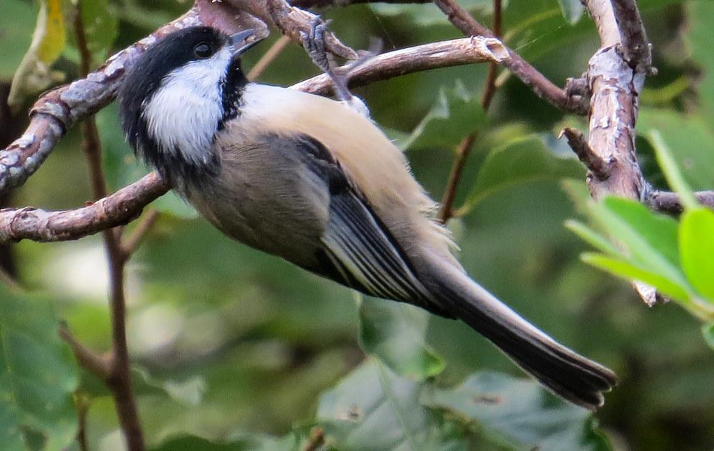 Birds of Brooklyn: Black-Capped Chickadee - Brooklyn Botanic