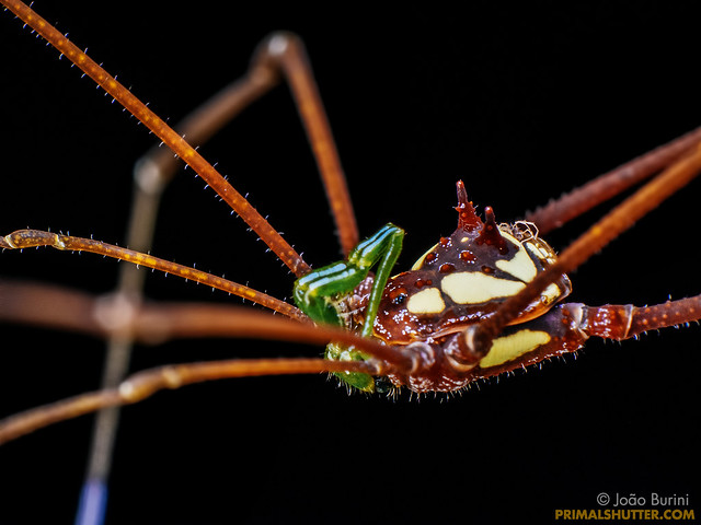 Caelopyginae, Thereza speciosa (?)