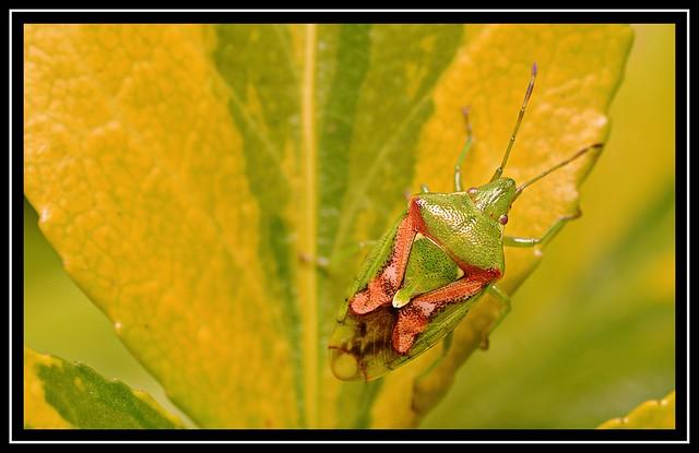Red Cross Shield Bug (Elasmostethus cruciatus) ???