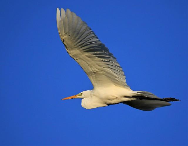 Great White Egret (Ardea alba) #2