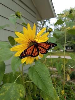 Monarch butterfly | by brett.ortler