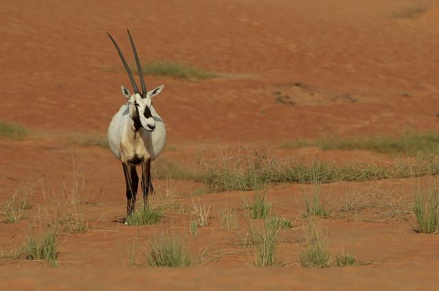 Oryx d'Arabie - Nazwa/Dubai - Charjah/UAE_20170118_040-1