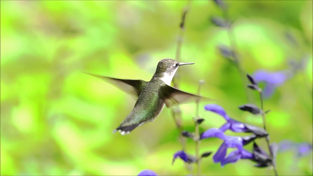 Hummingbird Slow Mo Clip 1 and 9 with music