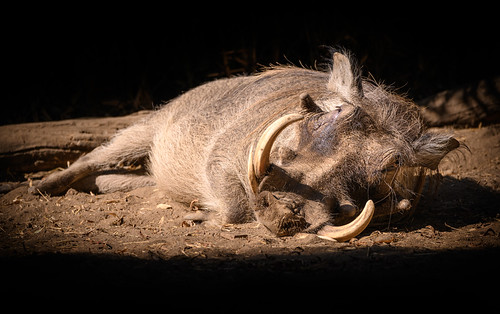 Warthog (Phacochoerus aethiopicus) sunbaking | by Wade Tregaskis