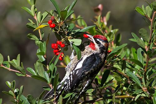 birds tucson arizona sapsuckers woodpeckers
