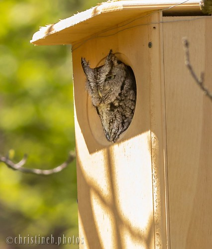 Cornell campus Screech Owl (July 2018)