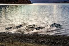 Ducks At Lake Tekapo-13