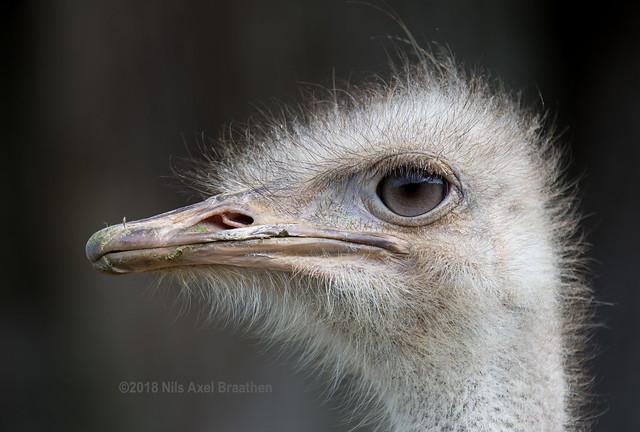 J77A9869 -- An Ostrich in Sapporo