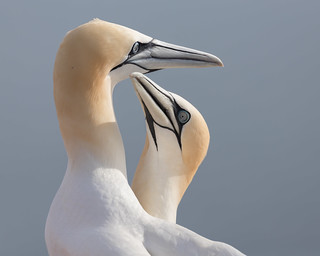Basstölpel [northern gannet] | by Songs.Ohia