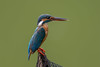 Common kingfisher by Emu Alim