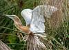 Common Squacco Heron/Ardeola ralloides by odileva
