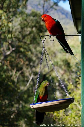 australia australianbirds qld bird kingparrot 2birds alisterus alisterusscapularis psittacidae