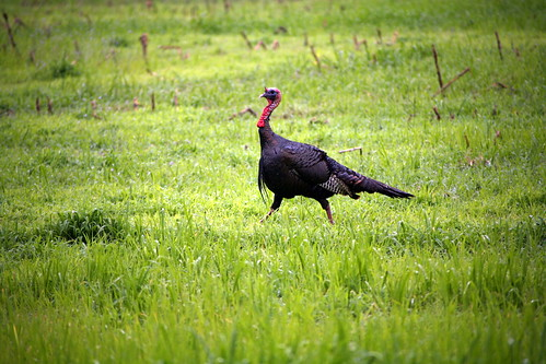 Photo of wild turkey in a field during sprintime