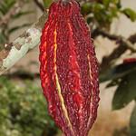 Kakaoschote an einem Baum