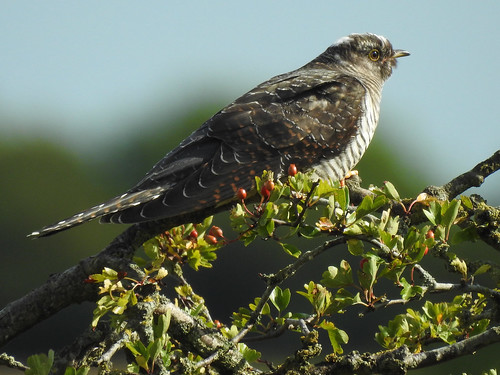 Cuckoo (Cuculus canorus) juvenile (2 spot) | by Brian Carruthers-Dublin-Eire