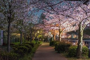 O River Sakura - Osaka, Japan | by inefekt69