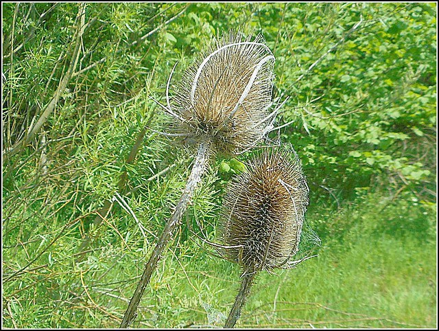 Two Teasels  ..