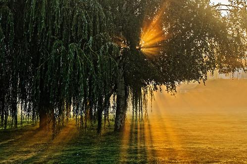 tree willow weeping morning dawn daybreak sunrise sun flare sunburst mist fog shadow golden grass