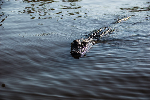 Aligator In The Pearl River