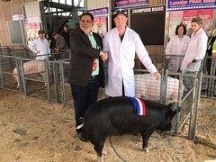 Anchordown Star G8 - Champion Berkshire Sow - Exhibited by Josh and Emma Lay