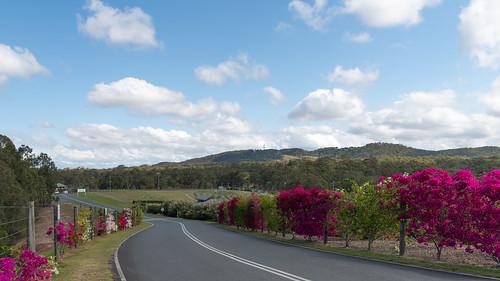 landscape vines bougainvillea