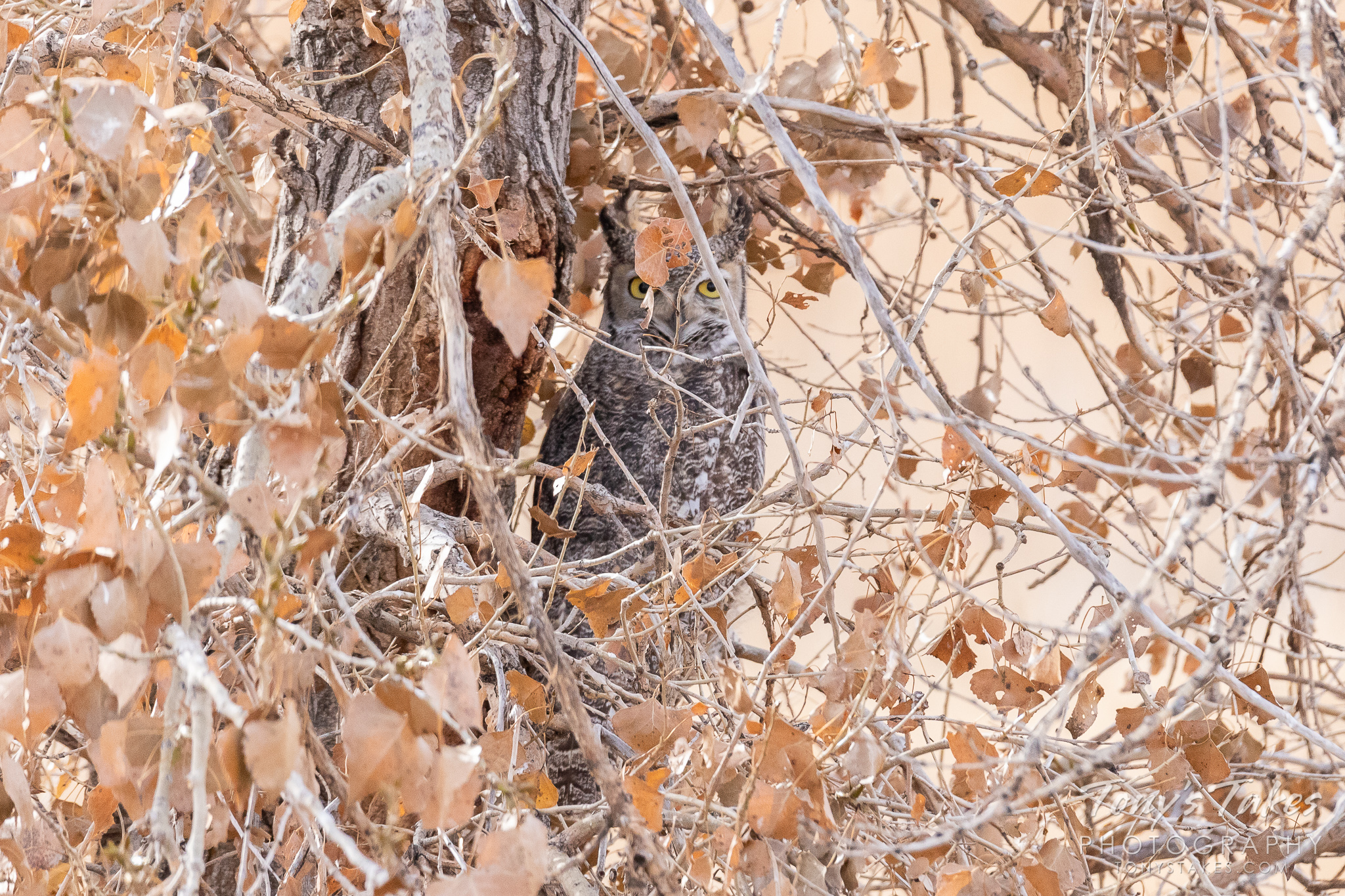 A Great Horned Owl keeps close watch while remaining well hidden near Denver International Airport. (© Tony's Takes)