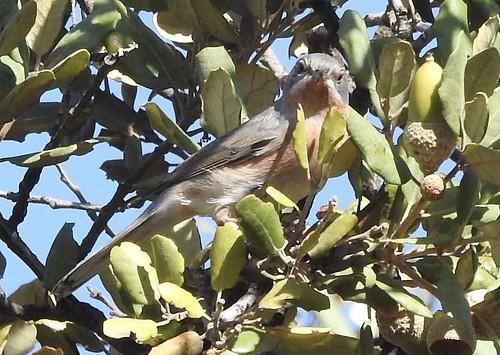 Toutinegra-carrasqueira // Subalpine Warbler (Sylvia cantillans)