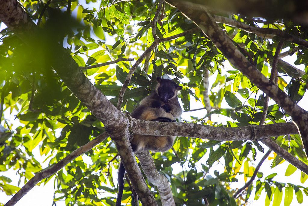1N0A3364   Lumholtz's tree-kangaroo, Nerada tea Plantation ...