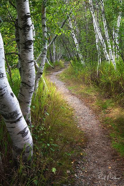 Birch Tree Path - Acadia National Park