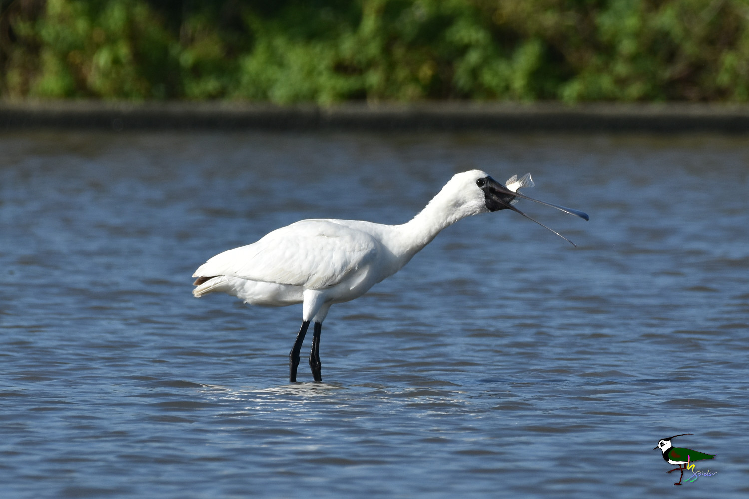 Black-faced_Spoonbill_9833