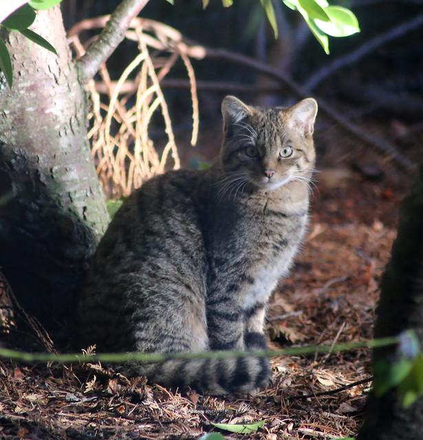 Scottish Wildcat at Highland Wildlife Park