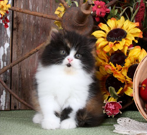Beautiful Calico Persian Kitten - Copyright Doll Face Pers…   Flickr