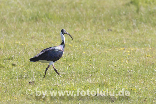 Stachelibis_Threskiornis spinicollis-17 | by fotolulu2012