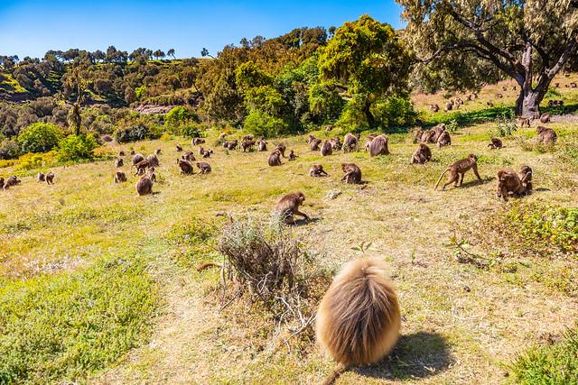 Gelada monkey, baboon, in he Simien Mountains, Ethiopia