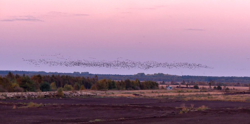 Kraniche*cranes