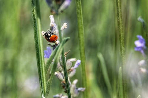 Coccinellidae | by xander.crawley
