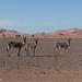 Åsnor -Erg Chebbi, Morocco