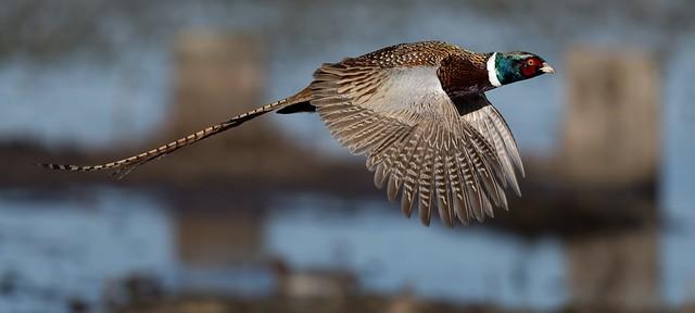 Male pheasant in flight