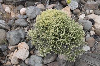 Paronychia chilensis DC.