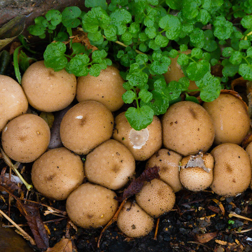 Autumn fungi: cluster of puffballs