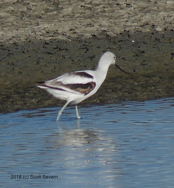 American Avocet in the inlet