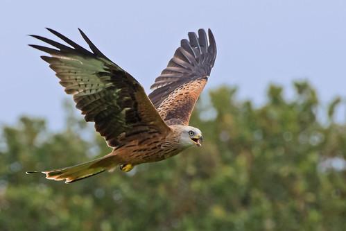 Red Kite - Llanddeusant  Llangadog   by Mike.Pursey