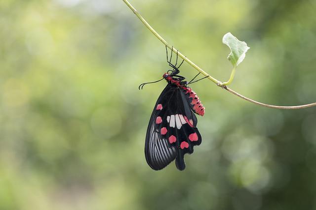 紅珠鳳蝶/紅紋鳳蝶 Pachliopta aristolochiae interposita (Fruhstorfer, 1904)
