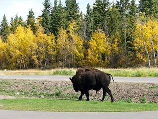 Wood bison - Elk Island National Park | by januszsl